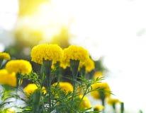 Fleurs jaunes de souci Images stock