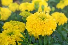 Fleurs jaunes de souci dans le jardin Image stock