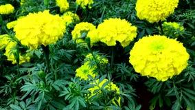 Fleurs jaunes de souci en parc banque de vidéos