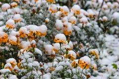 Fleurs jaunes de souci sous la neige blanche photographie stock
