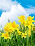 Fleurs jaunes de source Images stock