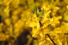 Fleurs jaunes de source Image libre de droits