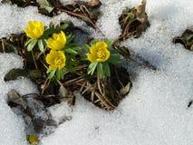 Fleurs jaunes de source Photos libres de droits