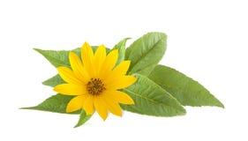 Fleurs jaunes de topinambur Photographie stock libre de droits