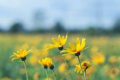 Fleurs jaunes de topinambur Photo stock