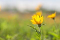 Fleurs jaunes de topinambur Photo libre de droits