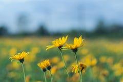 Fleurs jaunes de topinambur Image libre de droits
