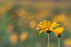 Fleurs jaunes de topinambur Image stock