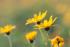 Fleurs jaunes de topinambur Images stock