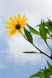 Fleurs jaunes de topinambur Fleurs jaunes de topinambur photographie stock