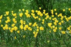Fleurs jaunes de tulipe dans un parterre photos stock