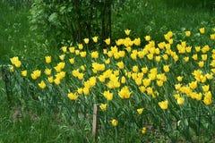 Fleurs jaunes de tulipe dans un parterre photographie stock