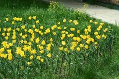 Fleurs jaunes de tulipe dans un parterre images libres de droits