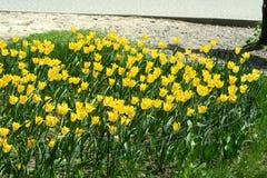 Fleurs jaunes de tulipe dans un parterre images stock