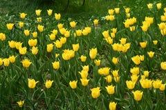 Fleurs jaunes de tulipe dans un parterre photo stock