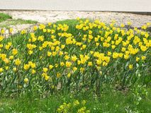 Fleurs jaunes de tulipe dans un parterre image stock