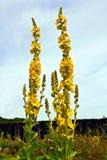 Fleurs jaunes de verbascum Photographie stock libre de droits