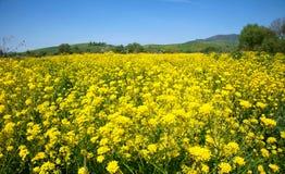 Fleurs jaunes de viol Photo stock