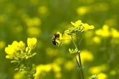 Fleurs jaunes de viol Photos libres de droits