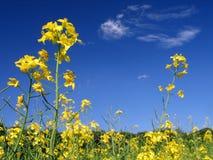 Fleurs jaunes de vue inférieure Photographie stock libre de droits