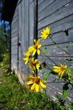 Fleurs jaunes devant le hangar rustique photo stock