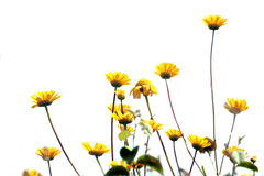 Fleurs jaunes en fleur Photo stock
