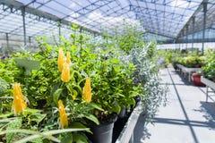 Fleurs jaunes en serre chaude image libre de droits