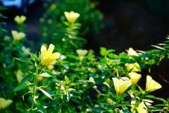 Fleurs jaunes en Thaïlande Photos libres de droits