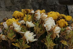Fleurs jaunes et blanches Photos libres de droits