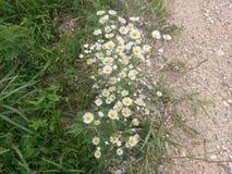 Fleurs jaunes et blanches Photographie stock libre de droits