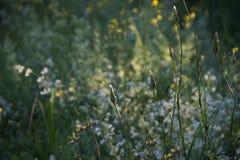 Fleurs jaunes et blanches dans le coucher du soleil rougeoyant photographie stock
