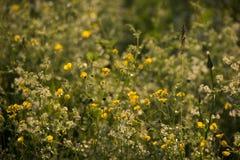 Fleurs jaunes et blanches dans le coucher du soleil rougeoyant photo libre de droits