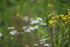 Fleurs jaunes et blanches de largeur verte de pré Les rayons du soleil éclairent le pré photos libres de droits