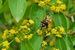 Fleurs jaunes et guêpes de accouplement images stock