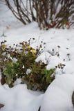 Fleurs jaunes et neige blanche Photographie stock libre de droits