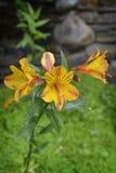 Fleurs jaunes et oranges Images libres de droits