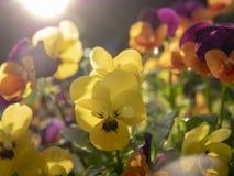 Fleurs jaunes et pourpres sur le coucher du soleil image stock