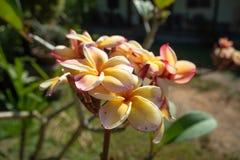 Fleurs jaunes et roses du ton deux avec la lumière du soleil de matin sur le fond extérieur brouillé photographie stock