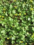 Fleurs jaunes, fleur d'or, tapis des fleurs Image libre de droits