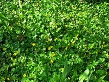 Fleurs jaunes, fleur d'or, tapis des fleurs Photos stock
