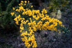 Fleurs jaunes fleurissant sur un buisson vert photos stock