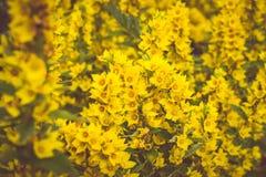 Fleurs jaunes, fond de ressort Images libres de droits