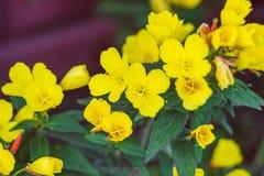 Fleurs jaunes, fond de ressort Images stock