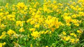 Fleurs jaunes lumineuses dans l'herbe secouant dans le vent de soufflement banque de vidéos