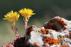 Fleurs jaunes macro Photographie stock