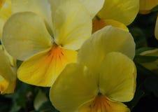 Fleurs jaunes multiples de ressort, avec 4 pétales Photographie stock libre de droits