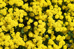 Fleurs jaunes pour le fond Images stock