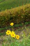 Fleurs jaunes près d'un vignoble dans la région de chianti, Toscane photos stock