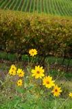 Fleurs jaunes près d'un vignoble dans la région de chianti, Toscane images libres de droits
