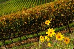 Fleurs jaunes près d'un vignoble dans la région de chianti, Toscane image libre de droits